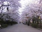 桜2011.jpg